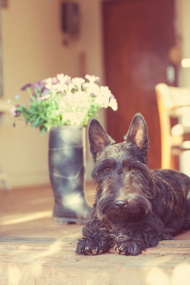 Scottish terrier photography pet tips