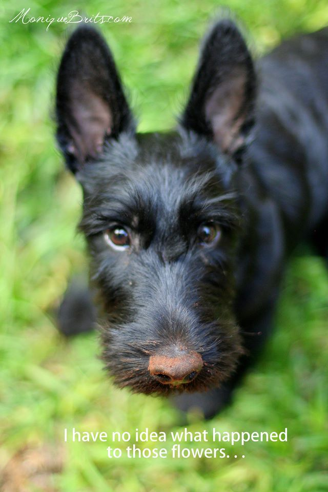 Scotty puppy Pet photo tips